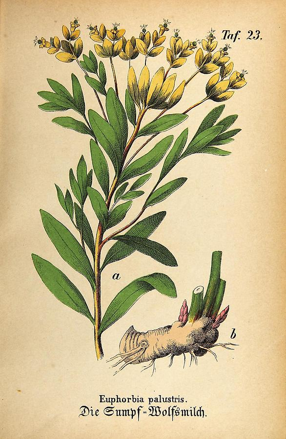 Illustration Sumpf-Wolfsmilch / Euphorbia palustris