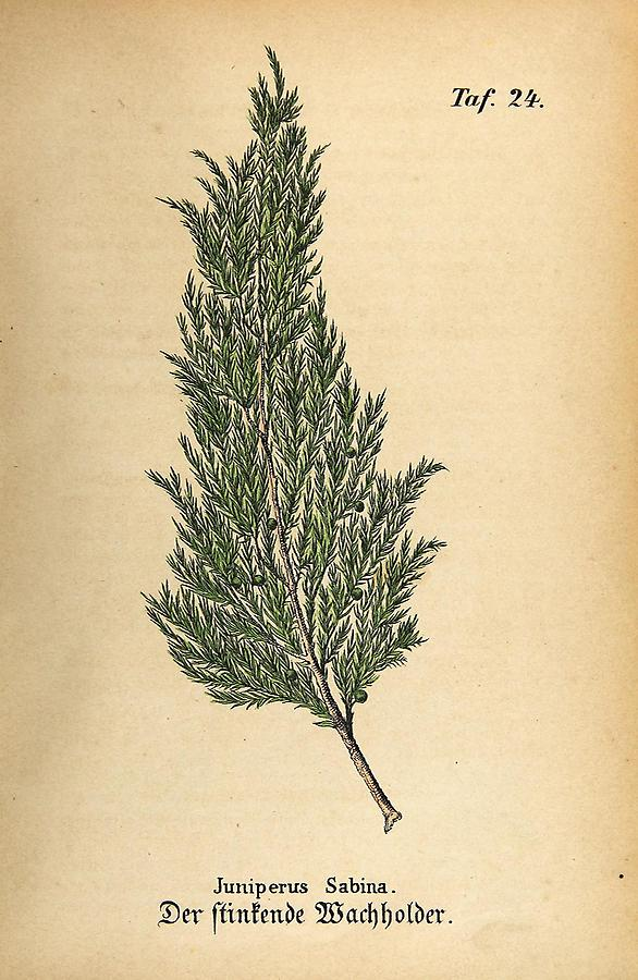 Illustration stinkender Wachholder / Juniperus Sabina