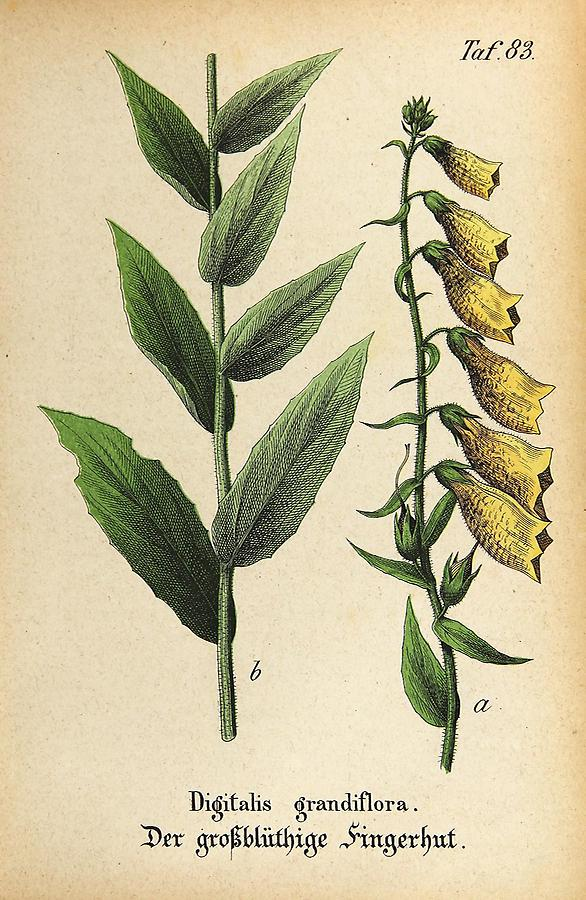 Illustration großblüthiger Fingerhut / Digitalis grandiflora