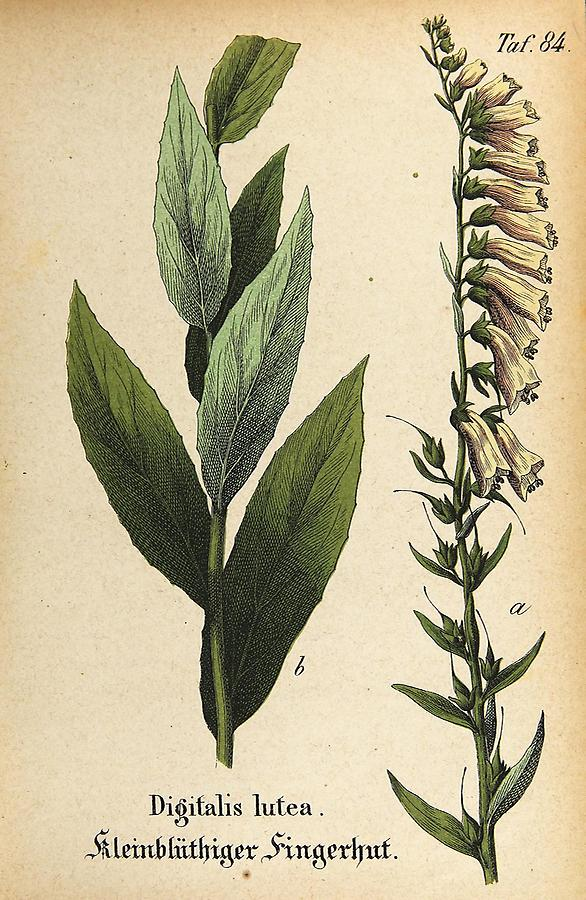Illustration Kleinblüthiger Fingerhut / Digitalis lutea
