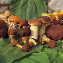 Pilze des Böhmerwaldes