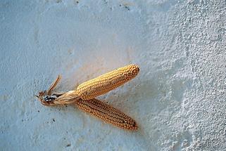 Zum Trocknen aufgehängte Maiskolben