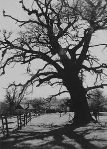 Tausendjährige Eiche im Wienerwald