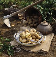 Kartoffelernte im  Waldviertel