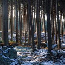 Fichten im Weinsberger Wald