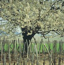 Baumblüte in den Weinrieden Höfleins im Burgenland