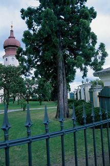 Kiefern im Garten von Stift Göttweig