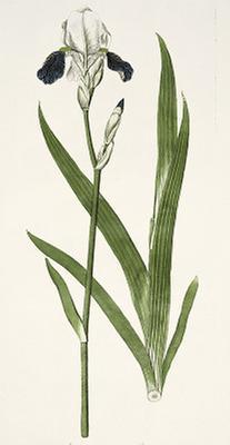 Botanische Illustration (1)