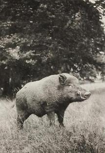 Wildschwein im Lainzer Tiergarten