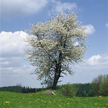Blühender Vogelkirschbaum