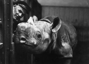 Ein Nashorn im Schönbrunner Zoo