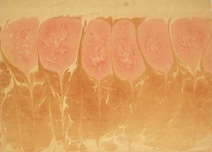 Tunkpapier: Tulpen