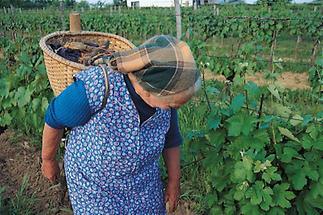 Neckenmarkter Weinbäurin bei der Lese
