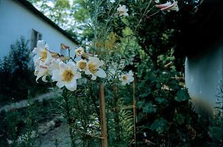 Blumen im alten Bauerngarten von Niedersulz