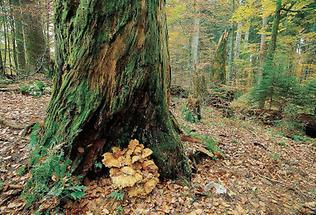 Baumstamm im Rothwald