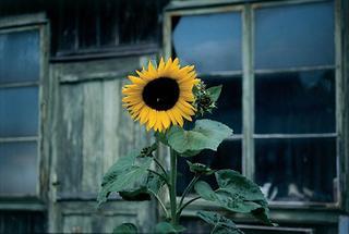 Sonnenblume im Klostergarten Eggenburg