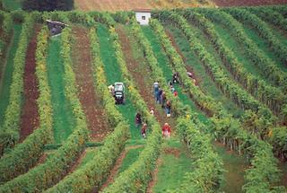 Weinernte in Niederösterreich
