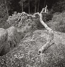 Felsenbaum