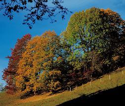 Herbstfärbung - Vogelkirsche, Ahorn und Esche