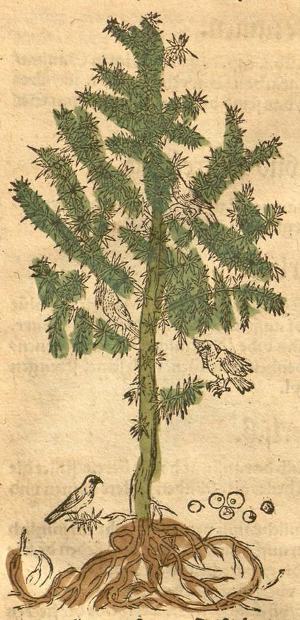 Illustration Weckholterbaum