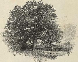 Kastanienbaum von Dobra