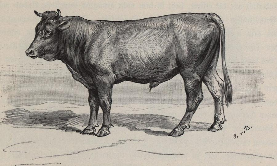 Illustration Stier (Landrasse)