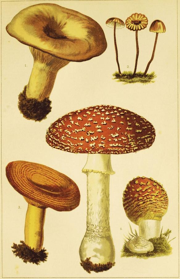Illustration Agaricini Tafel 1