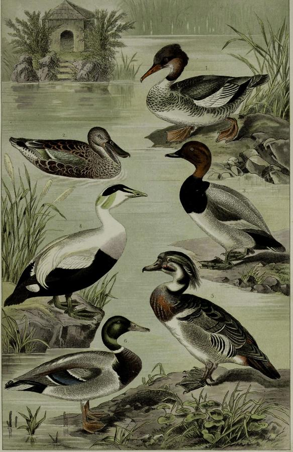 Illustration Enten
