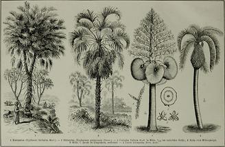 Palmen (Tafel I)