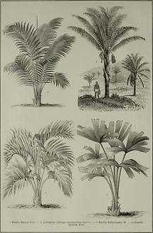 Palmen (Tafel II)