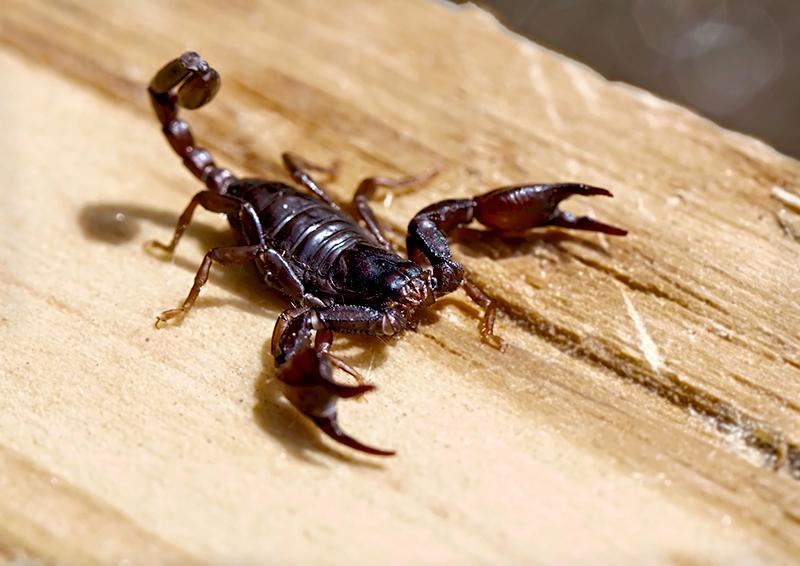 Skorpione In Italien