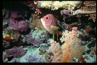 Sinai Soldatenfisch