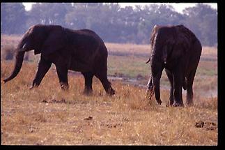 Okavango Delta Olifauntn