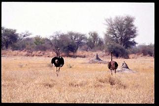 Okavango Delta Strausse