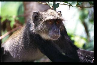 Mombasa Grüne Meerkatze 2