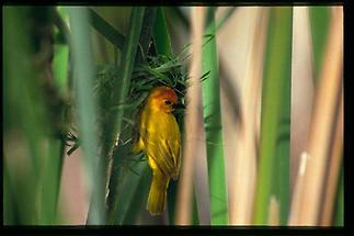 Mombasa Webervogel 3