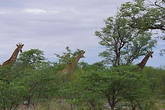 Etoschapfanne Giraffen