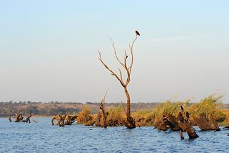 Chobe Sea Eagle