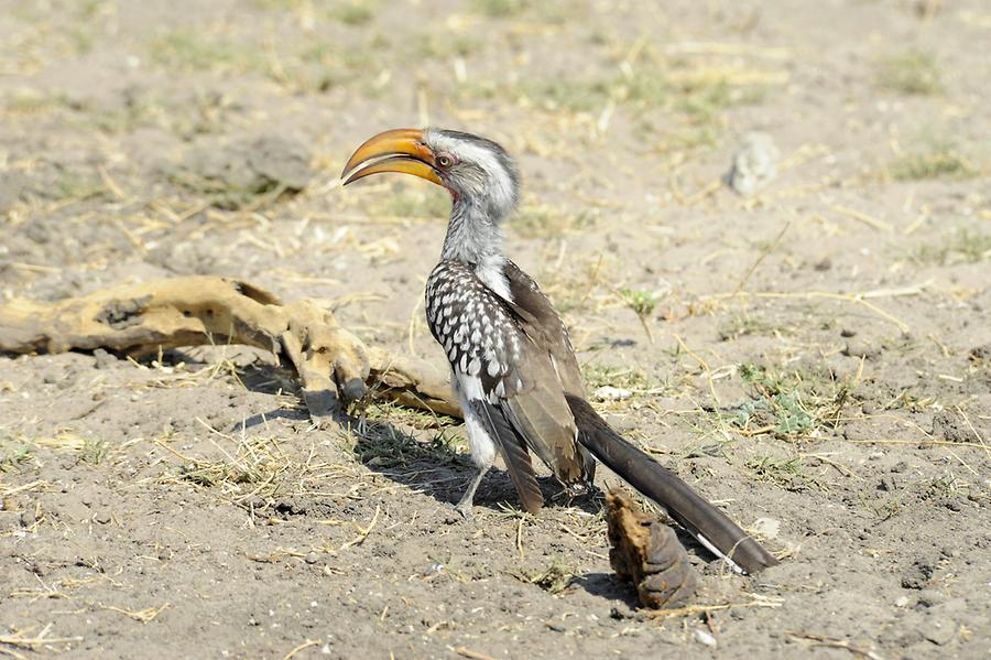 Yellow-Beaked Hornbill