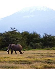 Elephant, Mt. Kilimanjaro