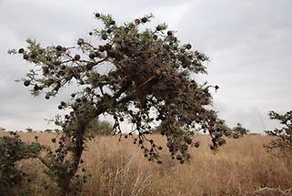 Thorns, Acacia Tree