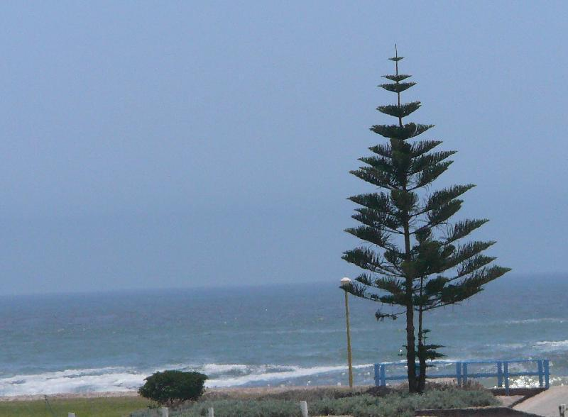Araucaria on the beach