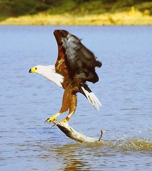 African fish eagle, Foto: source: Wikicommons unter CC