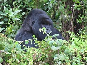 Mountain Gorilla (1)