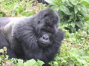 Mountain Gorilla (2)