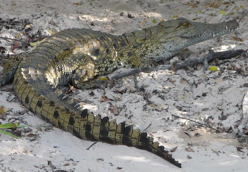 Small Zambezi crocodile