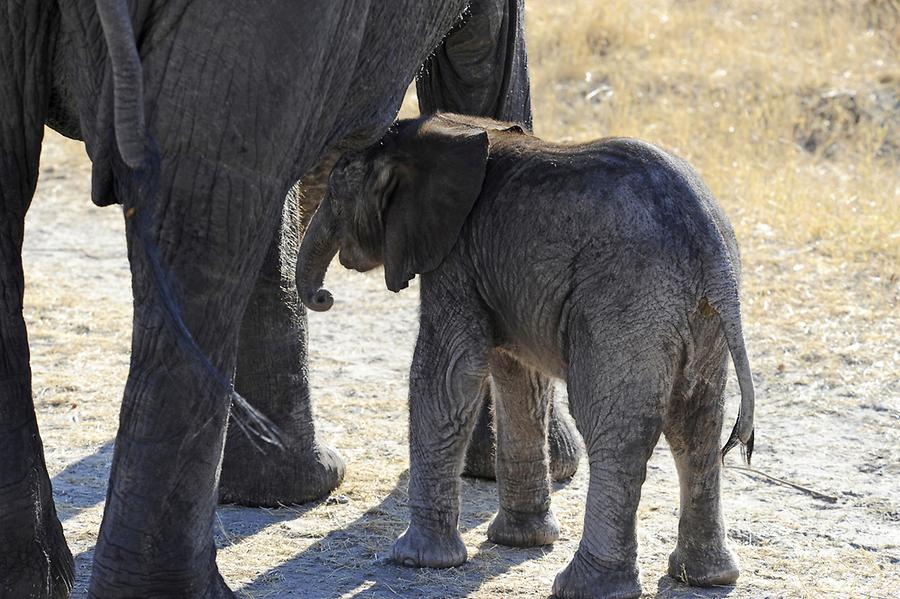ElephantBaby