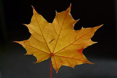 Maple leaf, Foto source: PixaBay