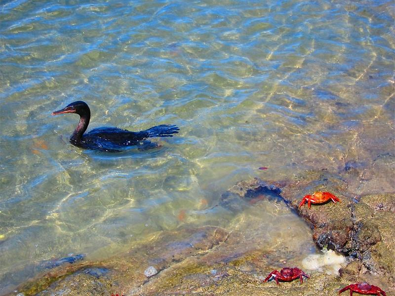 Cormorant and Crabs