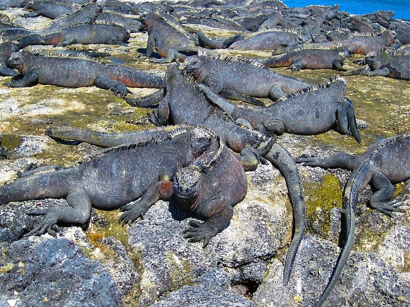Colonie of Marine Iguanas